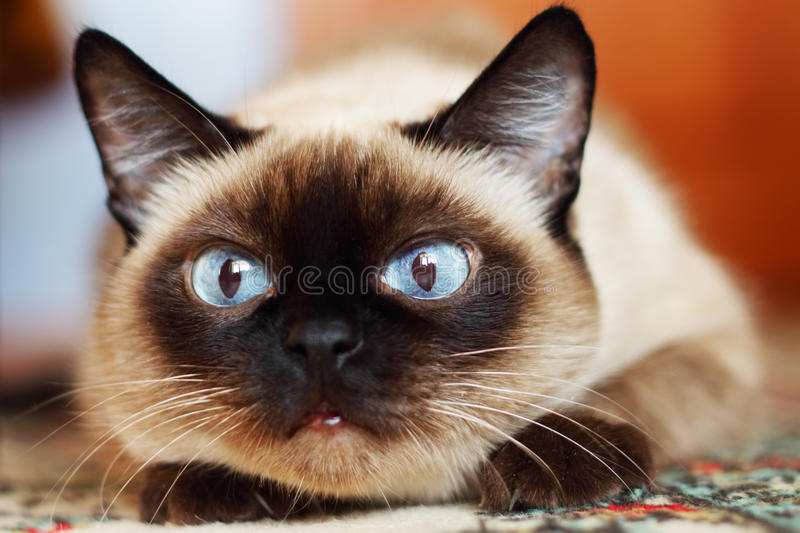 Siamese. Iamese in the blurred background royalty free stock photos