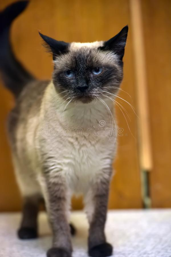 Siamese blauw-eyed kat royalty-vrije stock afbeelding