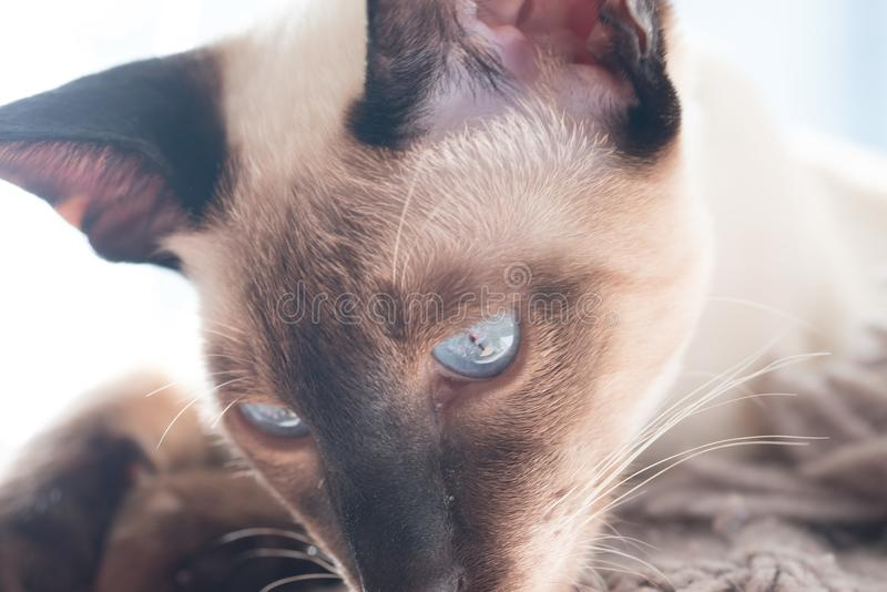 Siamese with blue eyes looking down. Beautiful siamese kitten with blue eyes looking off into the distance royalty free stock photo