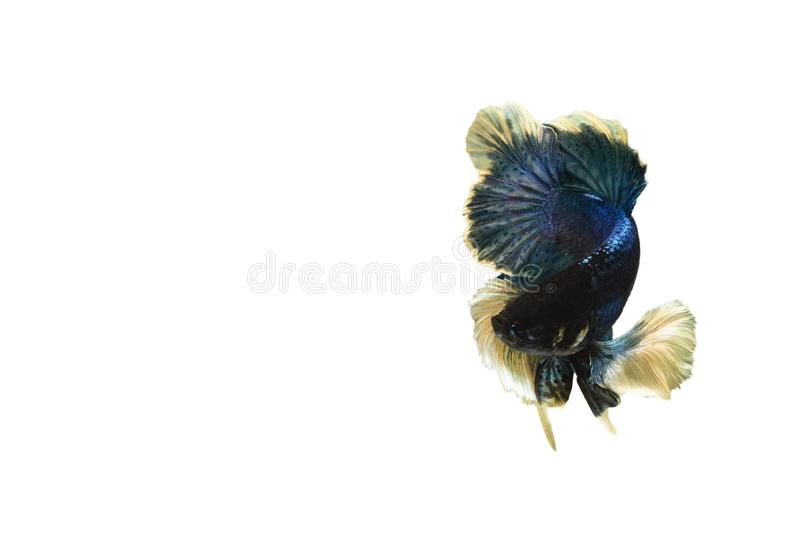 Siamese blue fighting fish or betta fish isolated on white  background with clipping path and copy space.  stock photo