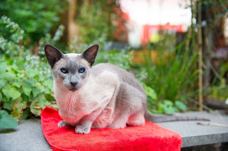 Siamese Blue Point Cat Stock Photo