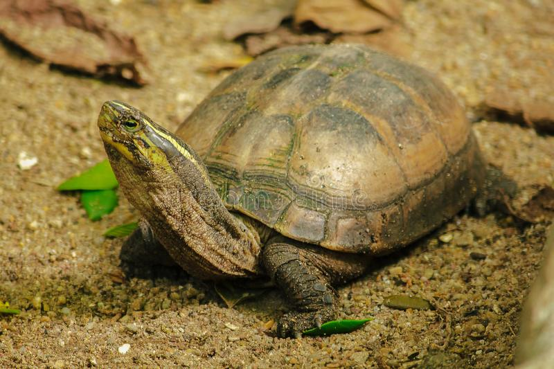 Siamese box terrapin .Shaped like turtles, but with a higher curved. Carapace royalty free stock image