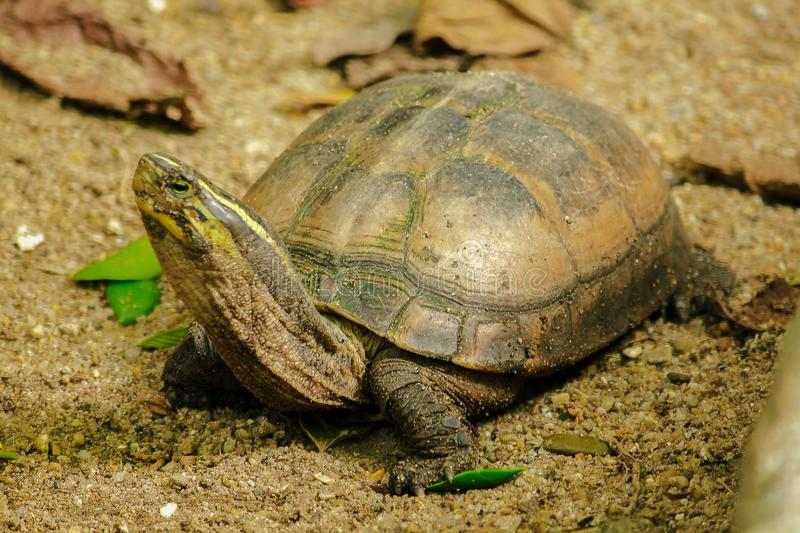 Siamese box terrapin .Shaped like turtles, but with a higher curved. Carapace stock image