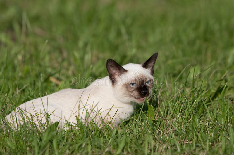 Download Siamese cat stock image. Image of kitty, staring, looking - 10140627