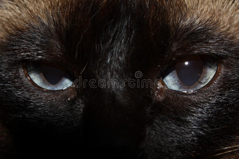 Siamese cat. The house Siamese cat who is having a rest royalty free stock image