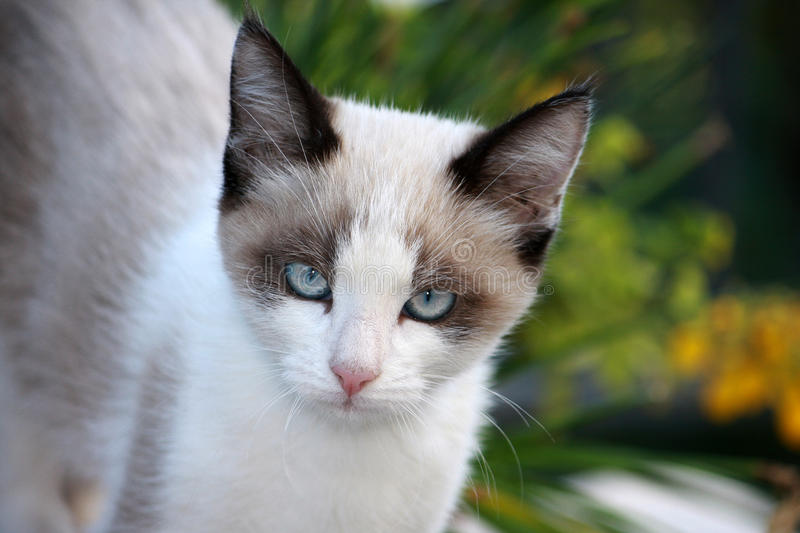 Siamese cat. A little Siamese cat in the garden royalty free stock photo