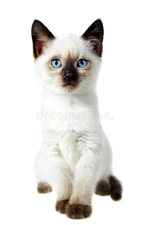 Siamese cat. Isolated on the white background stock image