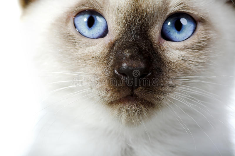 Siamese cat. Isolated on the white background stock photography