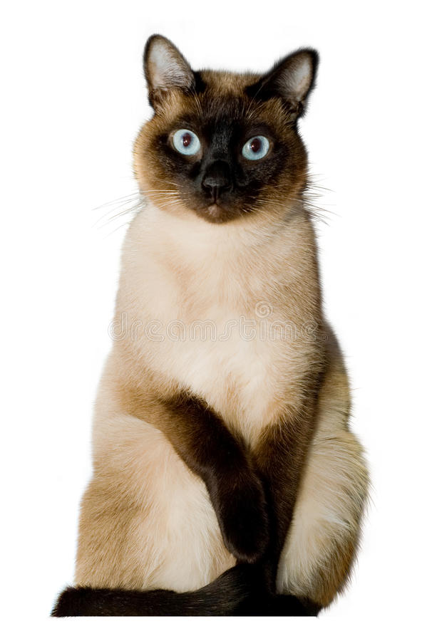 Siamese cat. On a white background.animal.feline stock photo