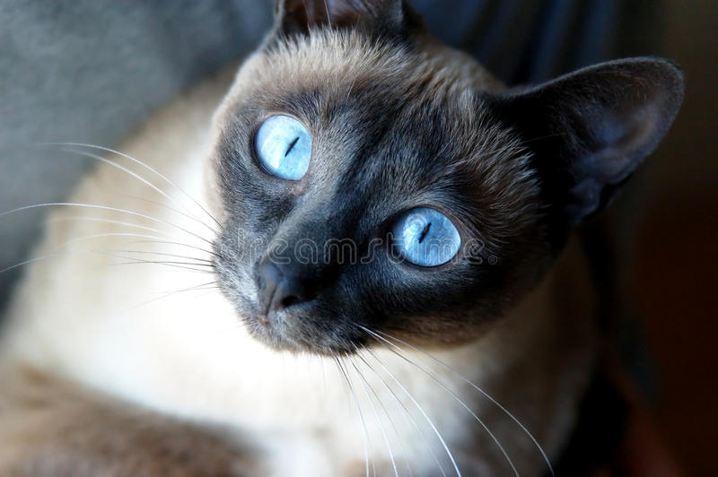 Siamese Cat. With blue eye with curious look royalty free stock photography