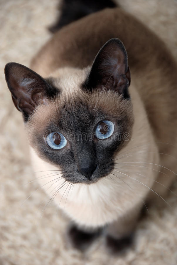Siamese Cat. With curious look stock images