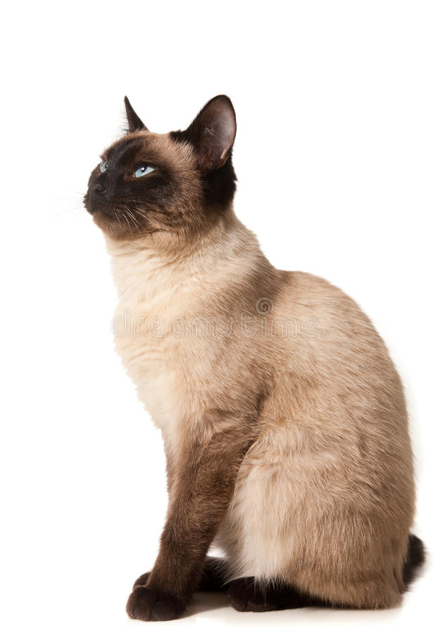 Siamese cat. Isolated on white stock photos
