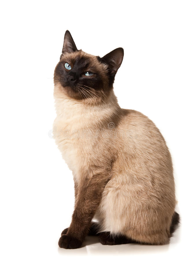 Siamese cat. Isolated on white royalty free stock image