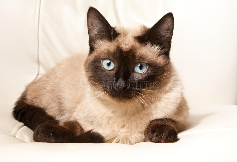 Siamese cat. Is sitting and looking stock image