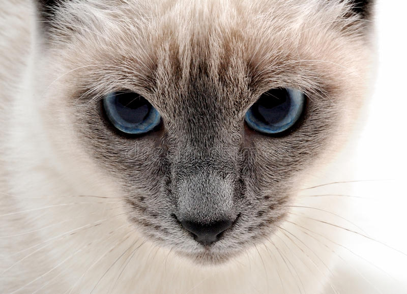Siamese cat. Close up to a siamese cat with agonizingly deep blue eyes royalty free stock photo