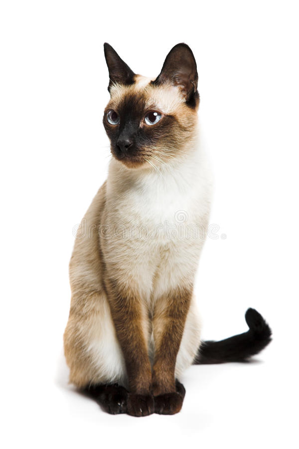 Siamese cat. Isolated on the white background stock photo
