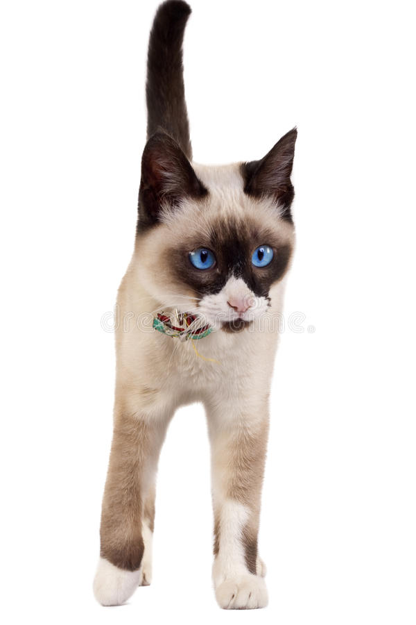 Siamese cat. Walking on the white background stock photos
