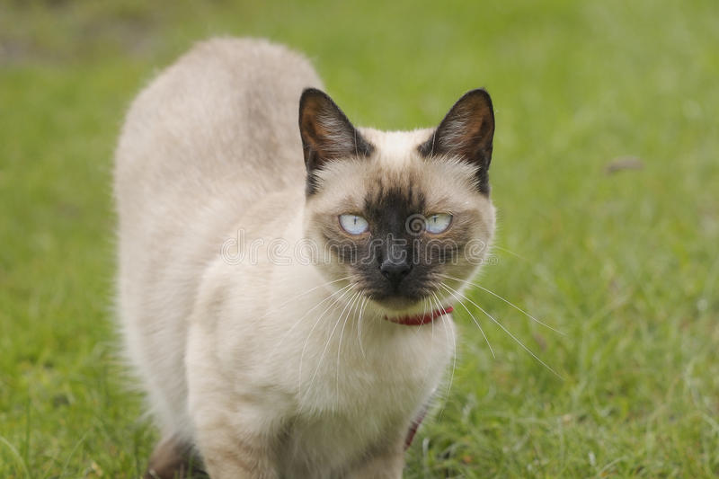 Siamese Cat. Portrait of a female Siamese cat in a field stock photo