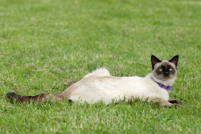 Download The siamese cat stock image. Image of seamise, green, fauna - 1746519
