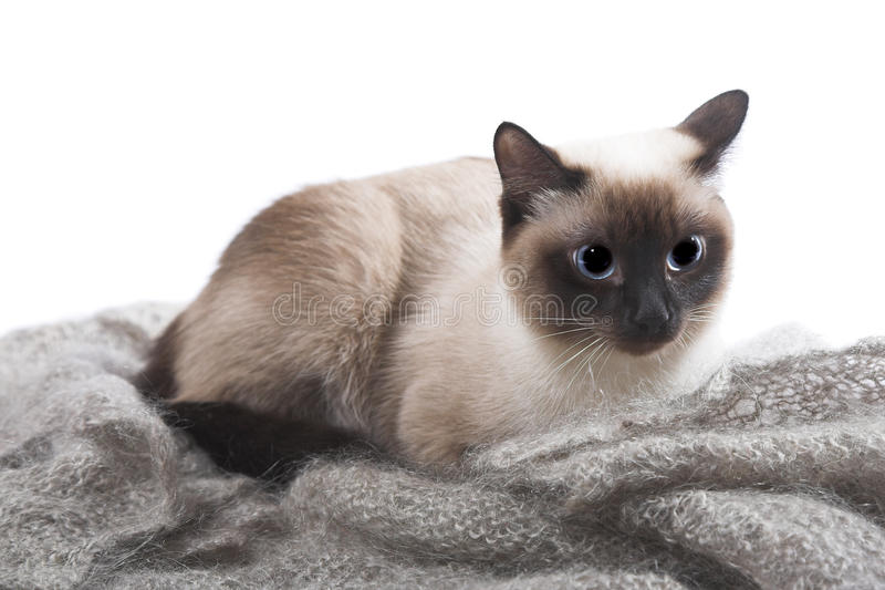 Siamese cat. Isolated on the white background royalty free stock photography