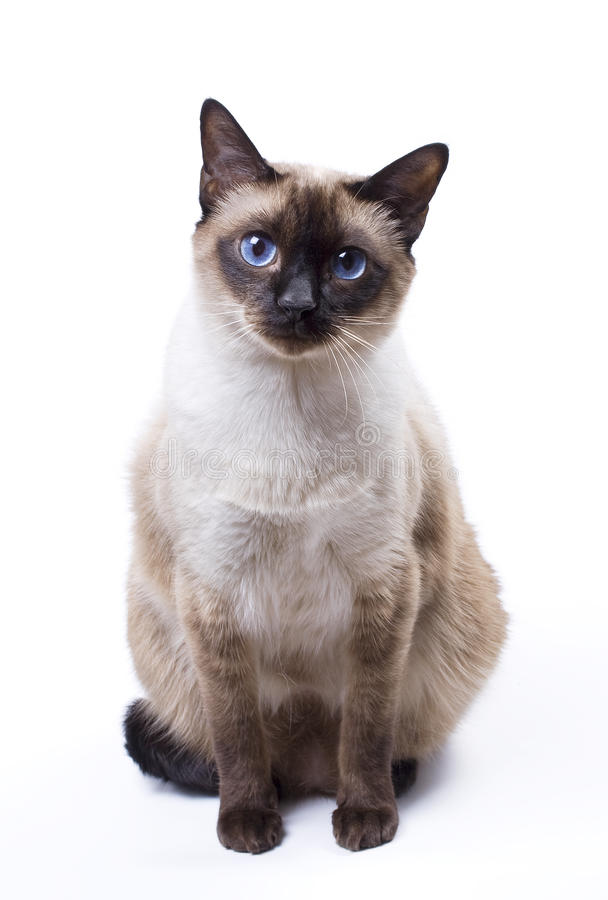 Siamese cat. Sitting on a white background