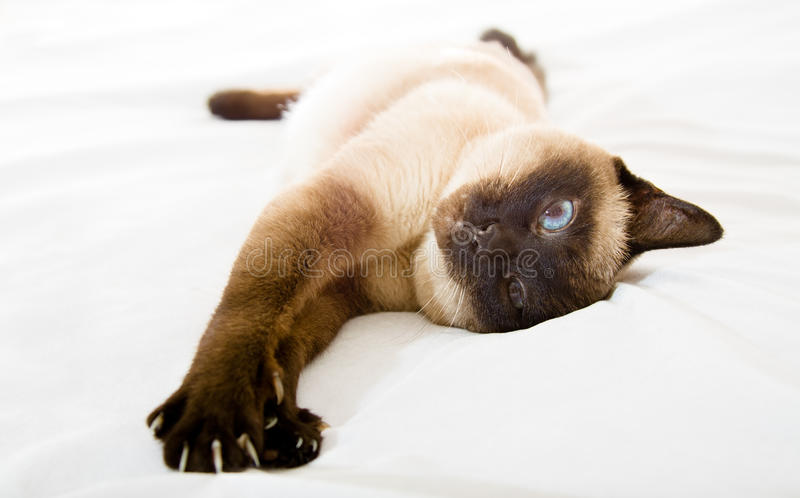 Siamese cat. The Siamese cat having a rest on a white material (Focus on a head royalty free stock images