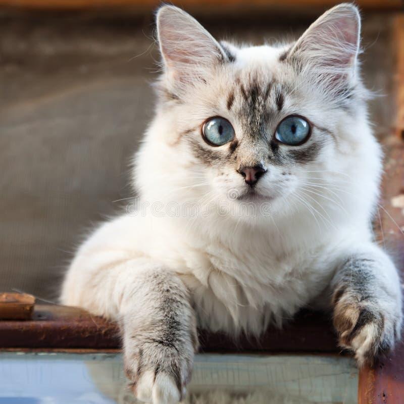 Download Siamese cat stock photo. Image of softness, pussycat - 20264348