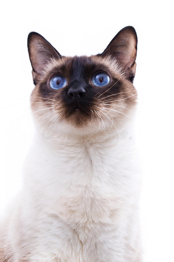 Siamese cat. Portrait on white background stock photography