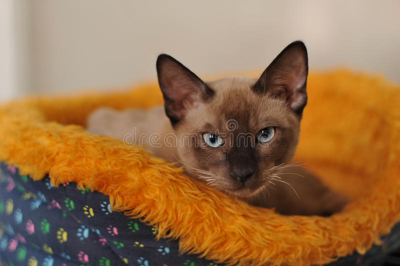 Siamese cat. Portrait in den stock image