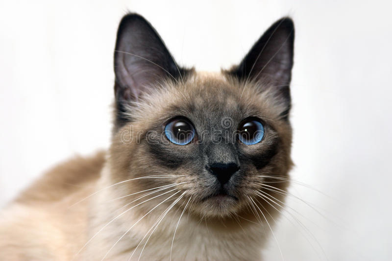 Download Siamese cat stock photo. Image of blue, siamese, breed - 23754150