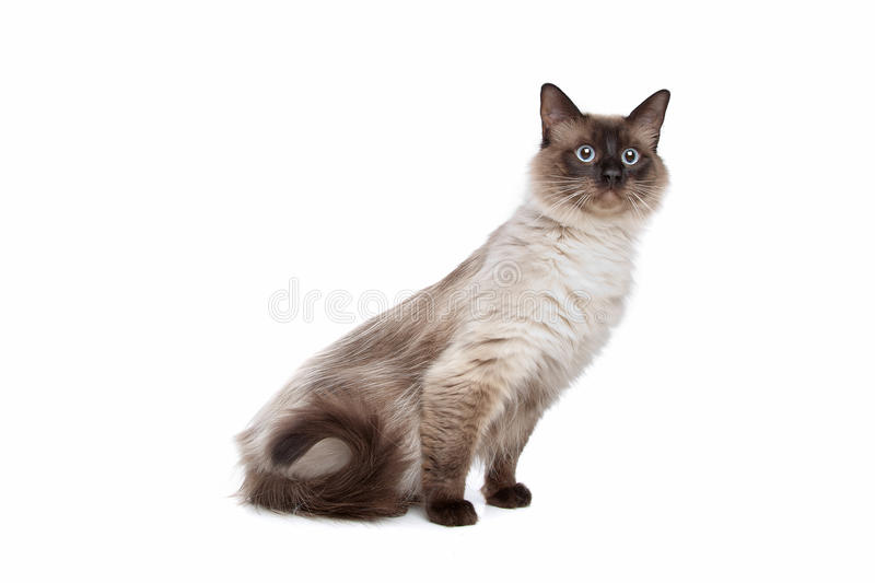 Siamese cat. In front of a white background royalty free stock photography