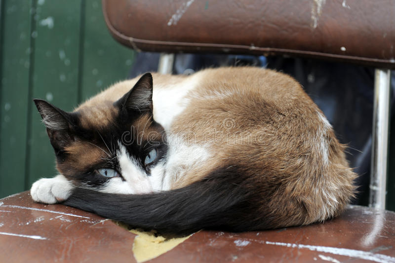 Download Siamese Cat Royalty Free Stock Photos - Image: 25287468
