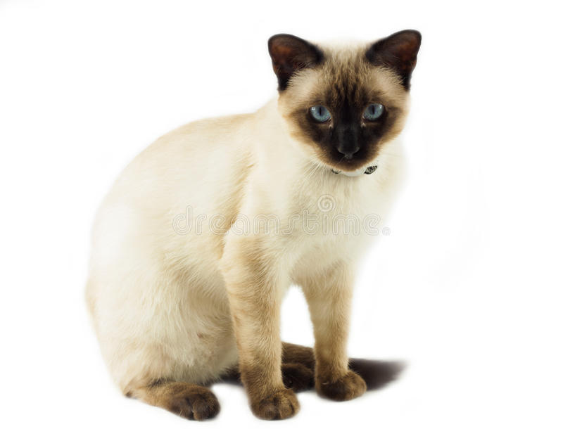 Download Siamese cat stock image. Image of fluffy, domestic, beautiful - 25937043