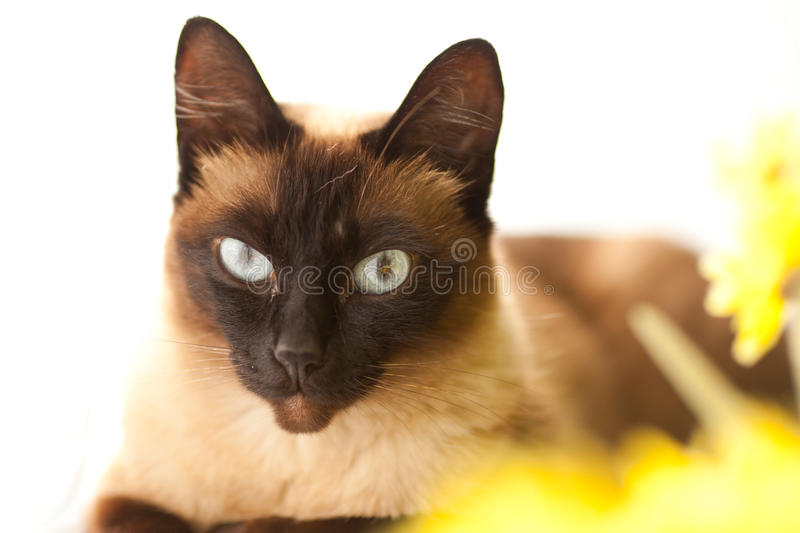 Download Siamese cat stock image. Image of siamese, love, cats - 26093473