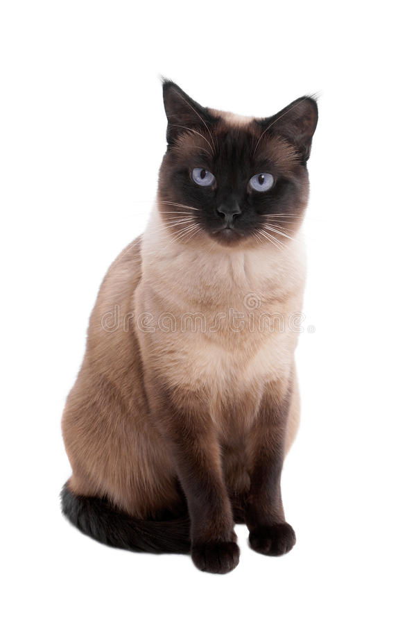 Siamese cat. 2 year old siamese cat in seal-point royalty free stock photo