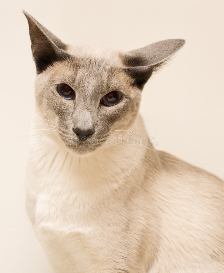Siamese cat. Sitting and looking in the lens stock image