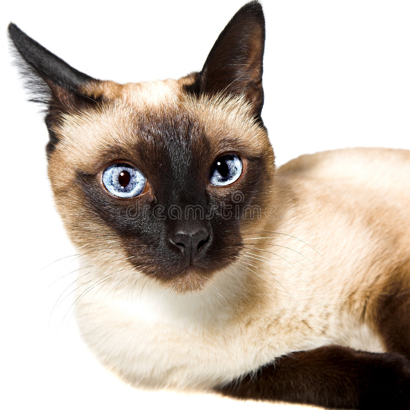 Siamese cat. Isolated on the white background royalty free stock image