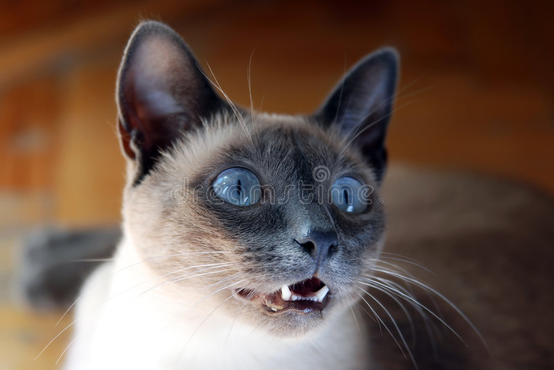 Download Siamese Cat stock image. Image of pretty, whiskers, pedigree - 7410857