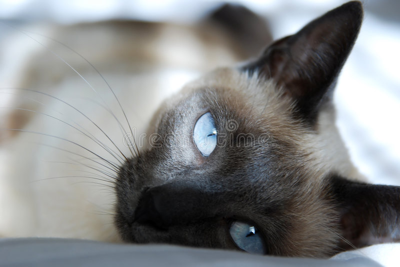 Download Siamese Cat stock image. Image of domestic, siamese, expression - 7410859