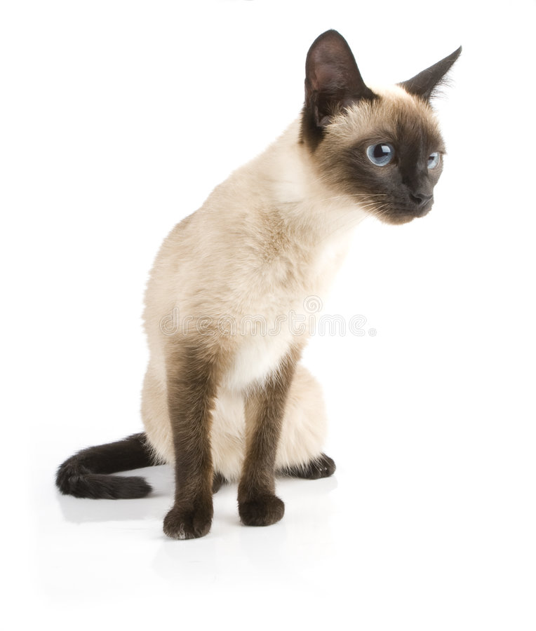 Siamese cat. On white background royalty free stock photo