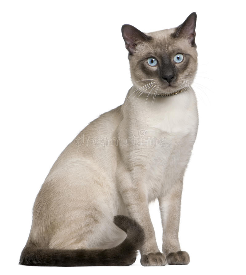 Siamese cat, 8 months old, sitting royalty free stock photos