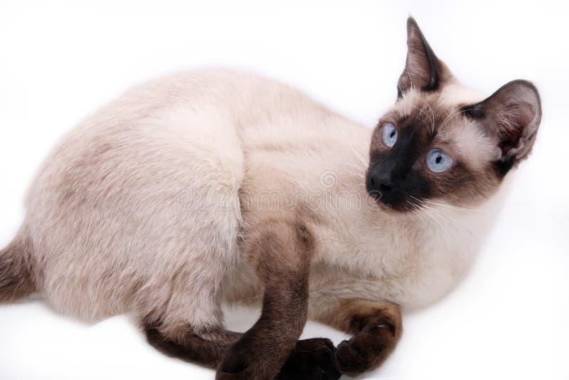 Siamese Cat Stock Images