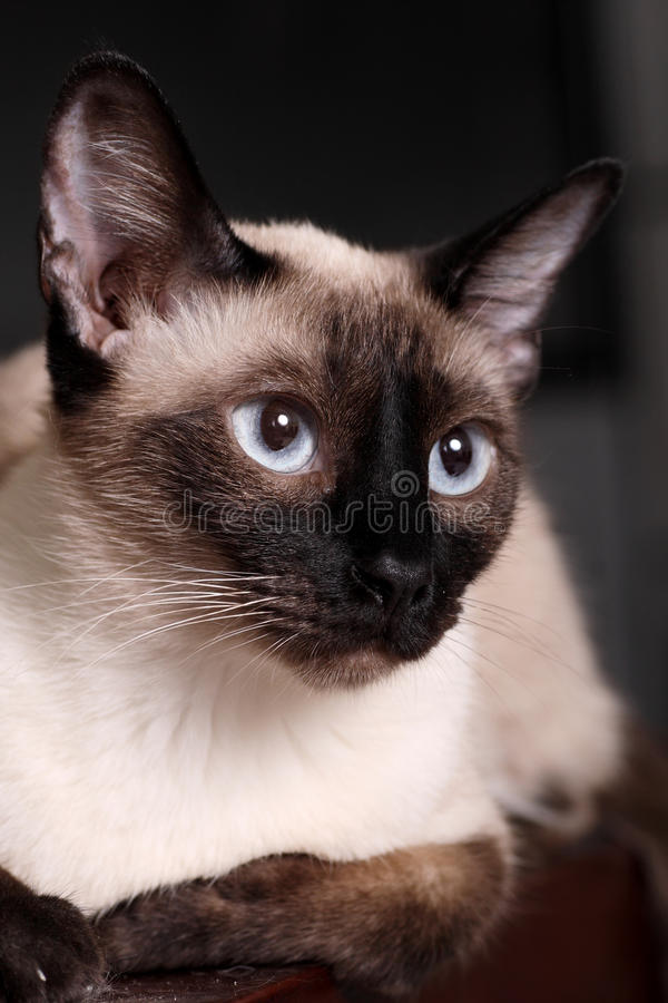 Siamese cat. Cute siamese cat in indoor portrait stock photography