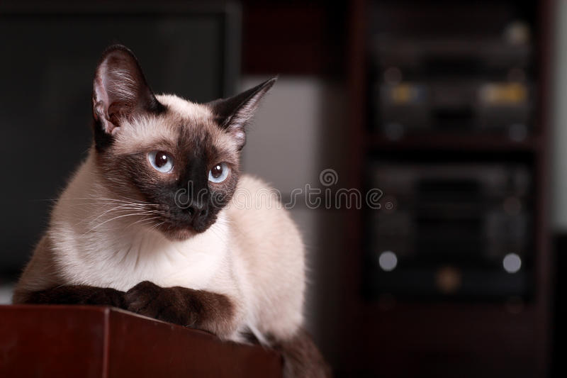 Siamese cat. Cute siamese cat having a rest royalty free stock images