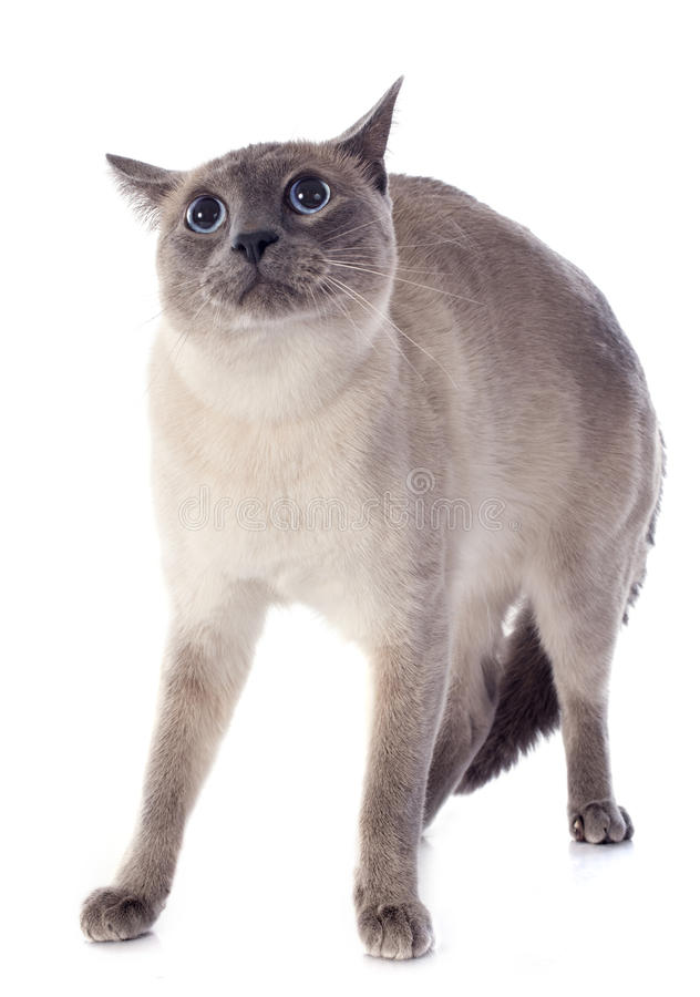 Siamese Cat. Afraid purebred siamese cat in front of white background stock photo