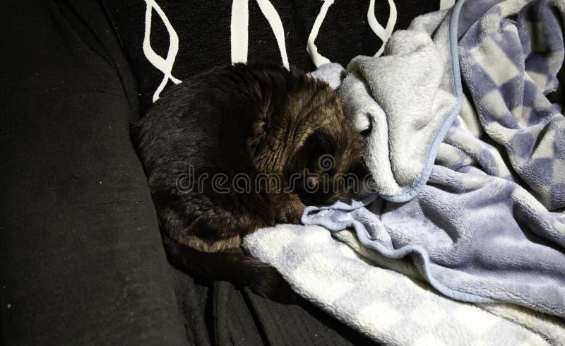 Siamese cat asleep stock image