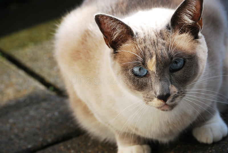 Download Siamese cat on the balcony stock image. Image of nature - 21063101