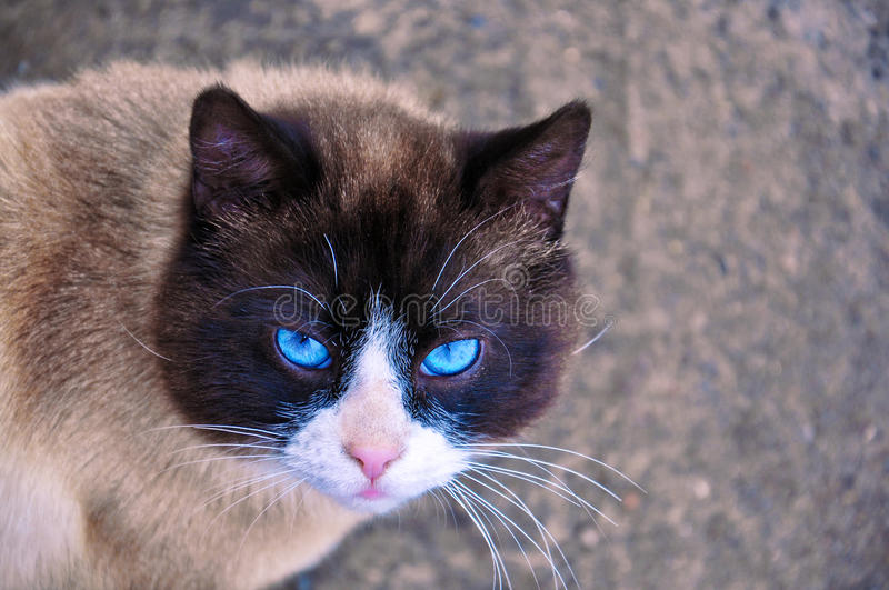 Siamese cat with beautiful blue eyes and a wise look. royalty free stock photos