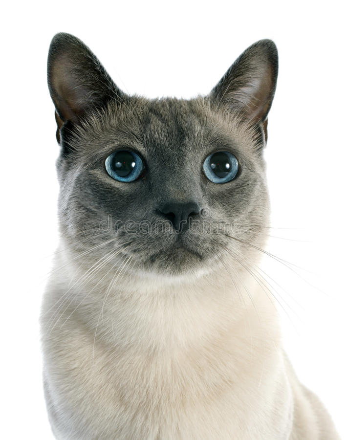 Siamese Cat. Beautiful purebred siamese cat in front of white background royalty free stock photo