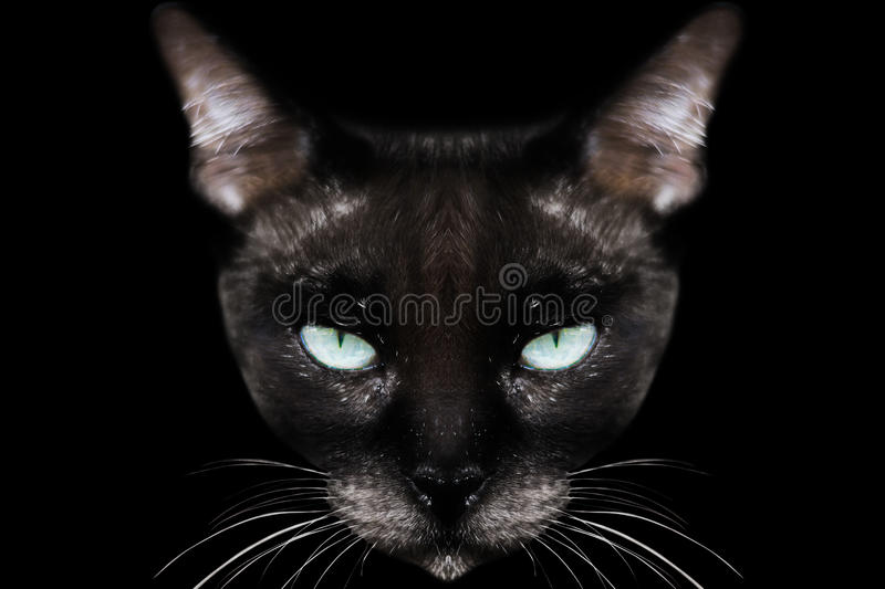 Siamese cat. On black stock images